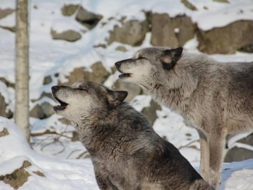 Wölfe im Winter-Erlebnis-Zoo