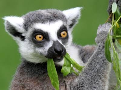 Katta - Lemur im Serengeti Park
