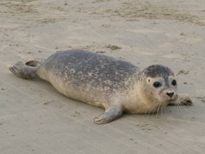 junger Seehund auf sandbank
