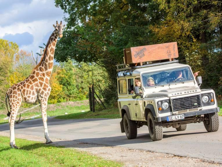 Bei der Serengeti-Safari im Jeep handnah an wilden Tieren vorbeifahren wie Giraffen
